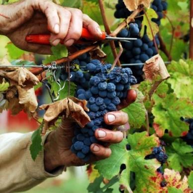 Vino: l'Italia rimane leader nella produzione mondiale